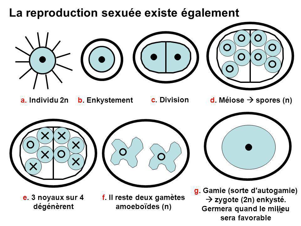e. 3 noyaux sur 4 dégénèrent f. Il reste deux gamètes amoeboïdes (n)