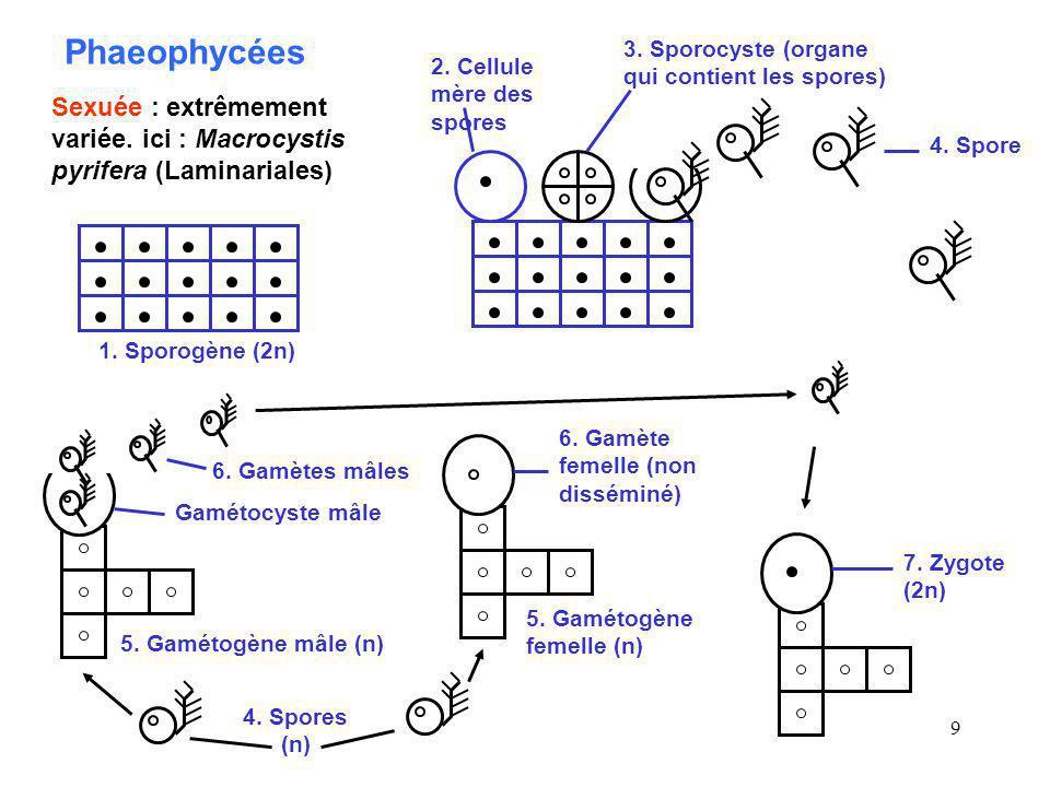 Phaeophycées 3. Sporocyste (organe qui contient les spores) 2. Cellule mère des spores.
