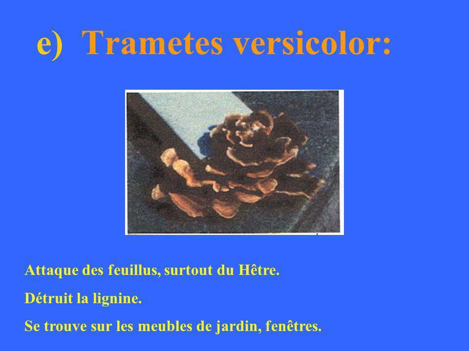 e) Trametes versicolor: