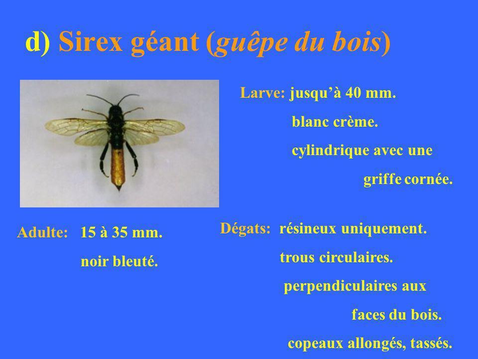 d) Sirex géant (guêpe du bois)