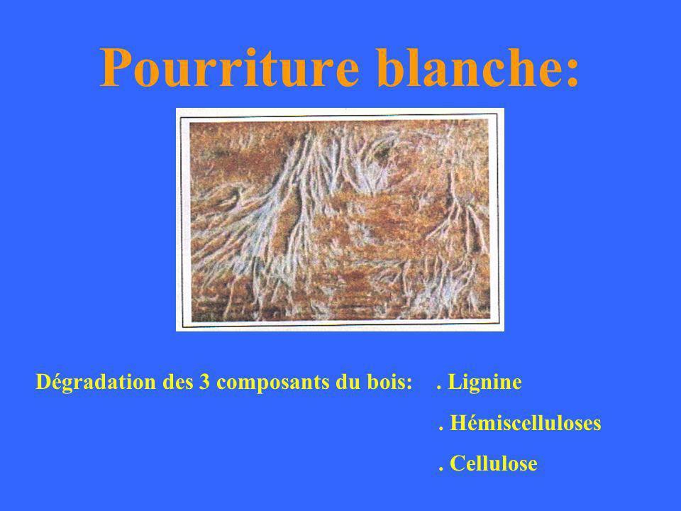 Pourriture blanche: Dégradation des 3 composants du bois: . Lignine