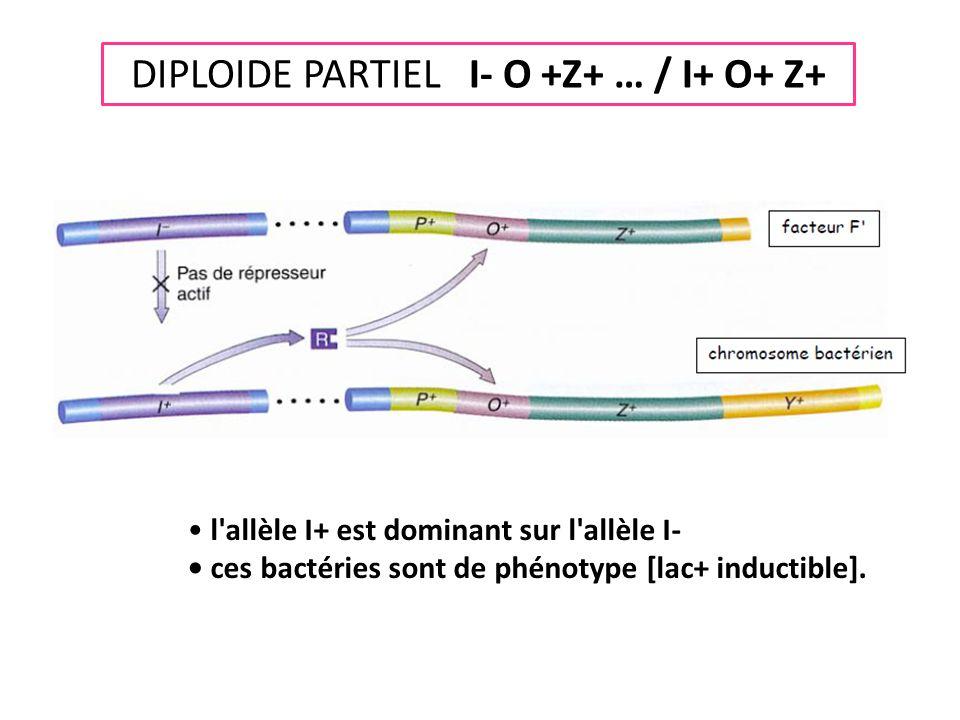 DIPLOIDE PARTIEL I- O +Z+ … / I+ O+ Z+