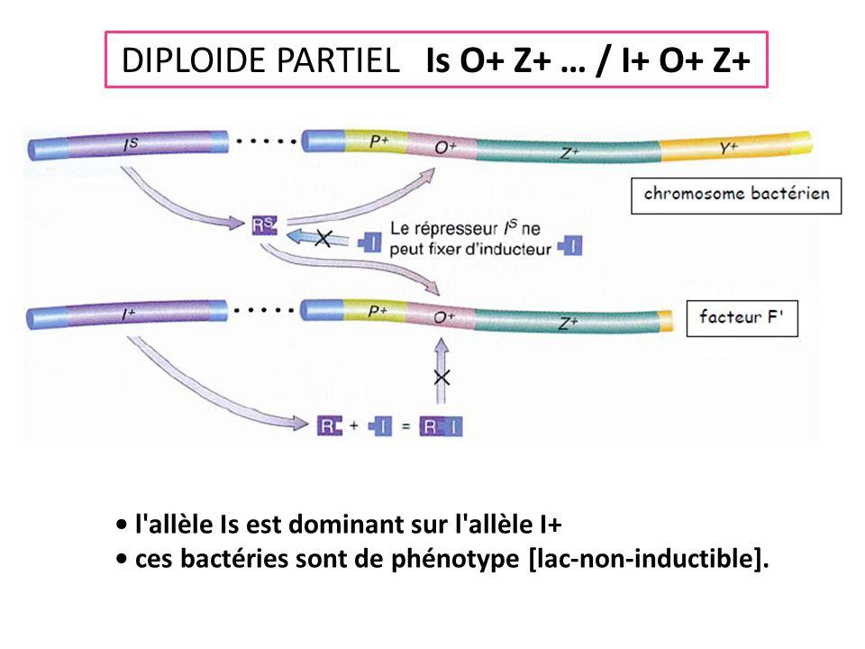 DIPLOIDE PARTIEL Is O+ Z+ … / I+ O+ Z+