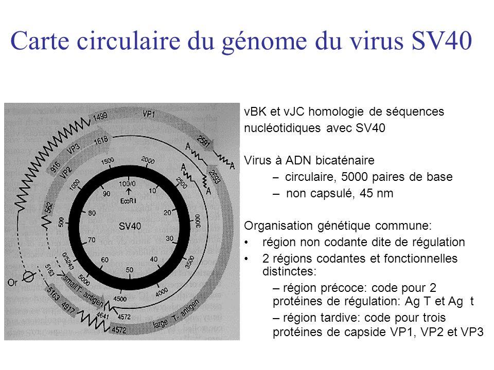 Carte circulaire du génome du virus SV40