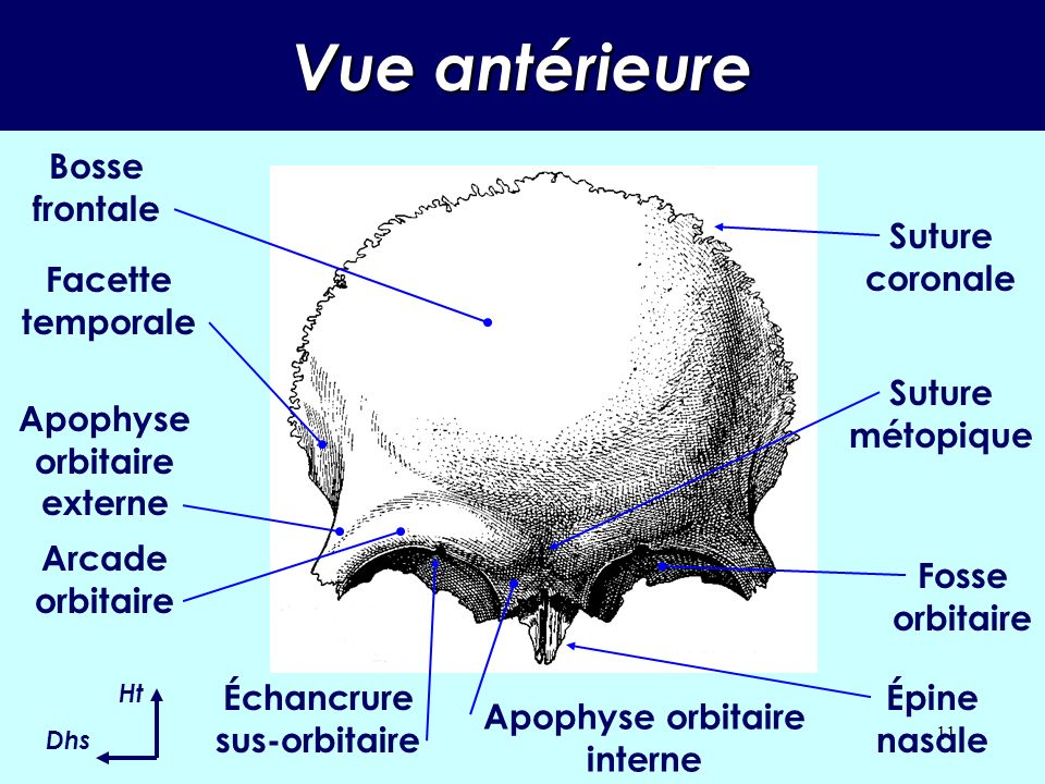 Vue antérieure Bosse frontale Suture coronale Facette temporale