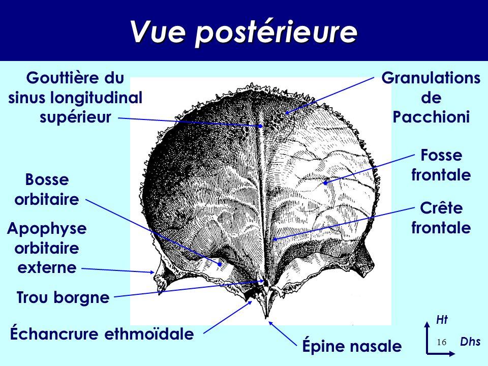 Vue postérieure Gouttière du sinus longitudinal supérieur