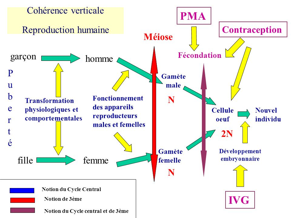 Cohérence verticale Reproduction humaine