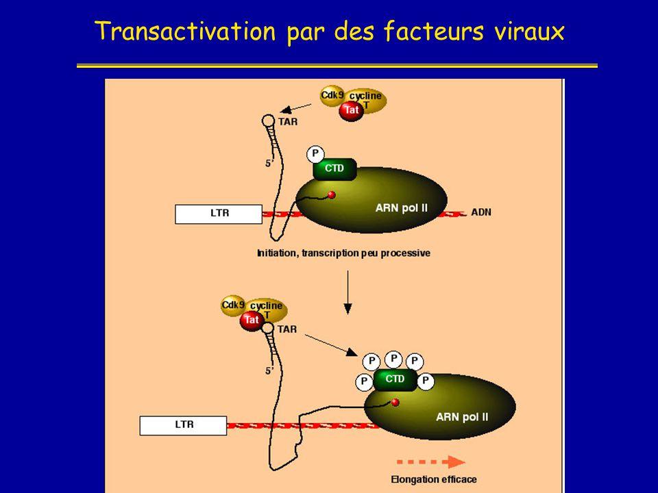 Transactivation par des facteurs viraux