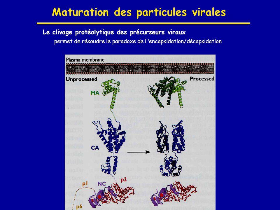 Maturation des particules virales
