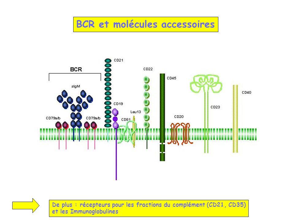 BCR et molécules accessoires