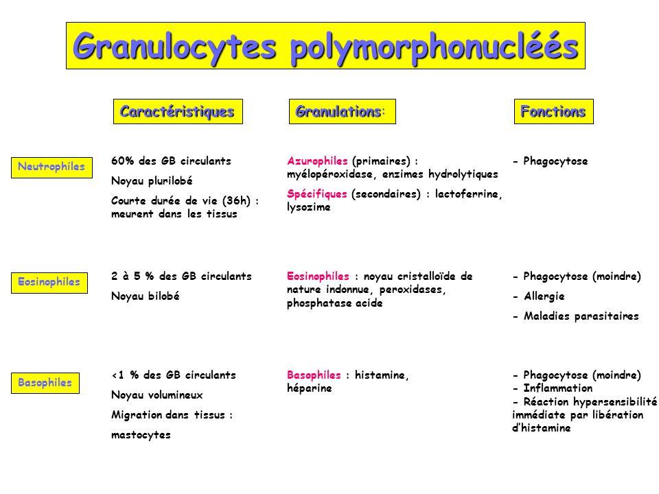 Granulocytes polymorphonucléés