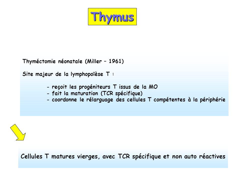 Thymus Thyméctomie néonatale (Miller – 1961) Site majeur de la lymphopoïèse T : - reçoit les progéniteurs T issus de la MO.
