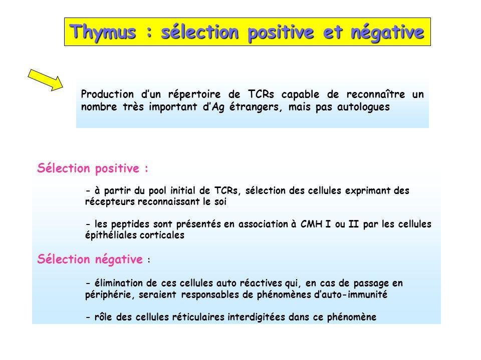 Thymus : sélection positive et négative