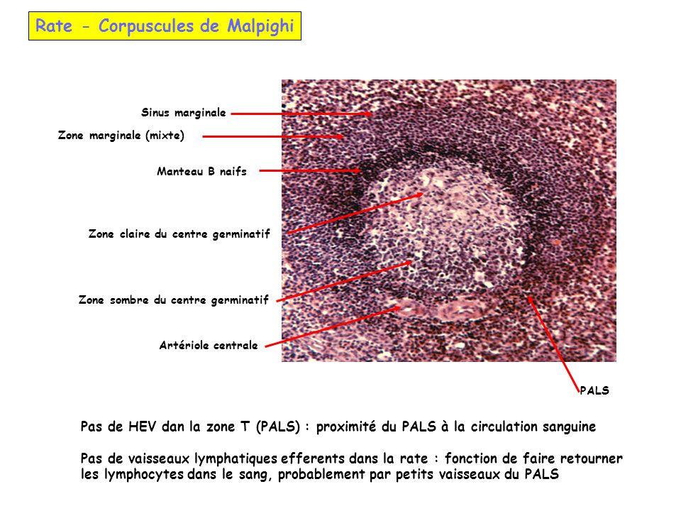 Rate - Corpuscules de Malpighi