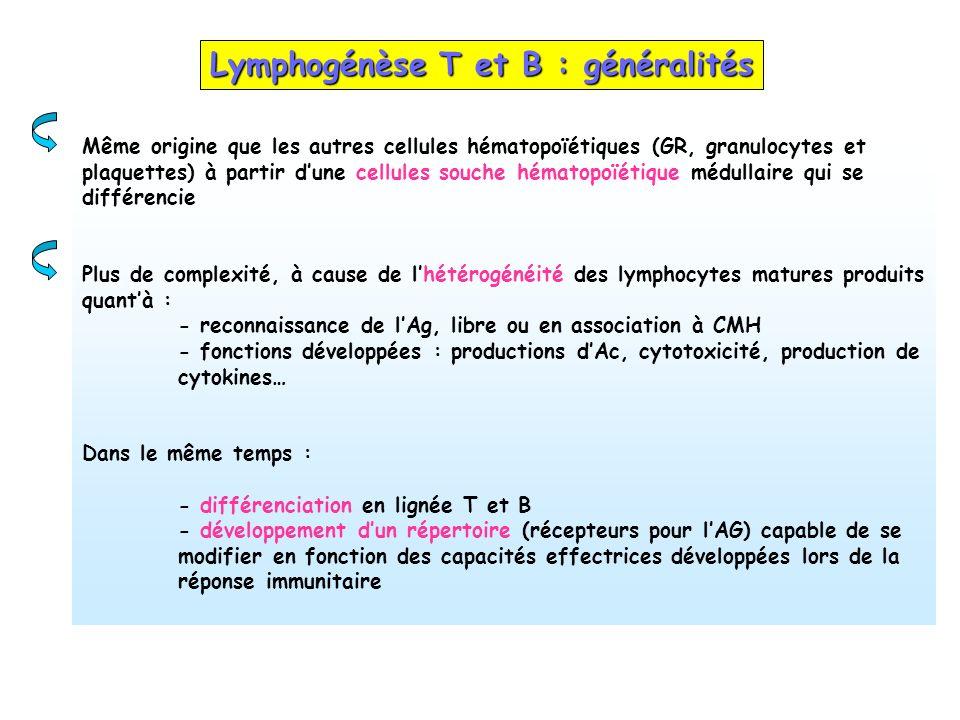 Lymphogénèse T et B : généralités