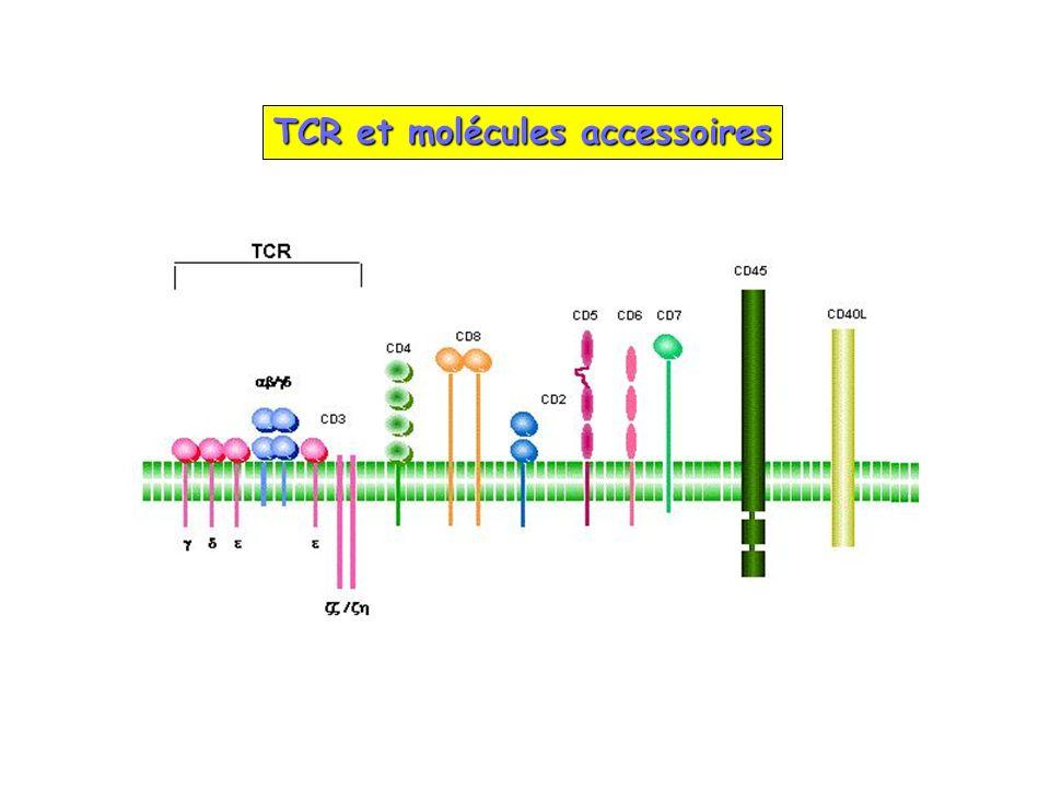 TCR et molécules accessoires