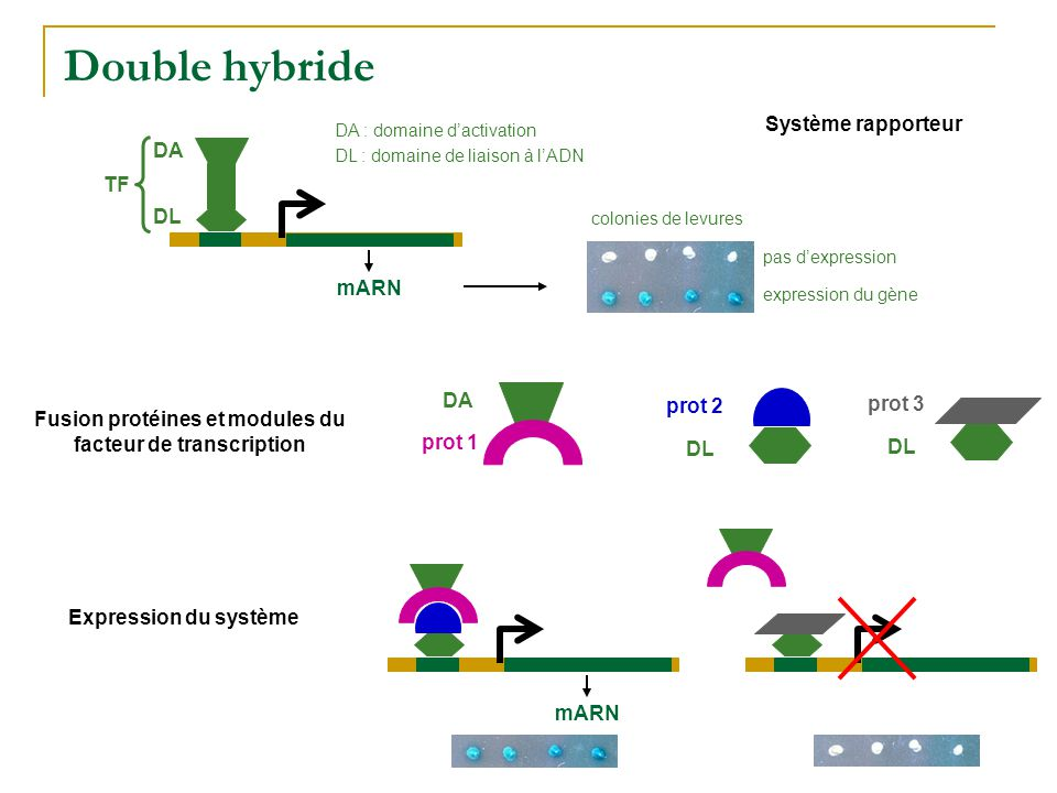 Fusion protéines et modules du facteur de transcription