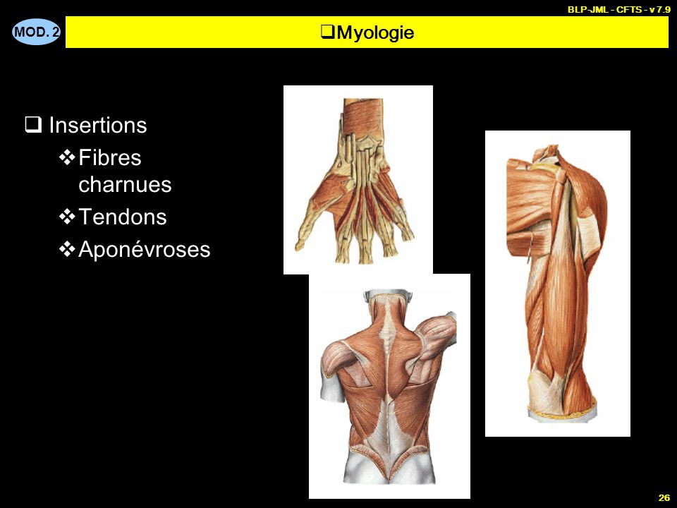 Insertions Fibres charnues Tendons Aponévroses Myologie