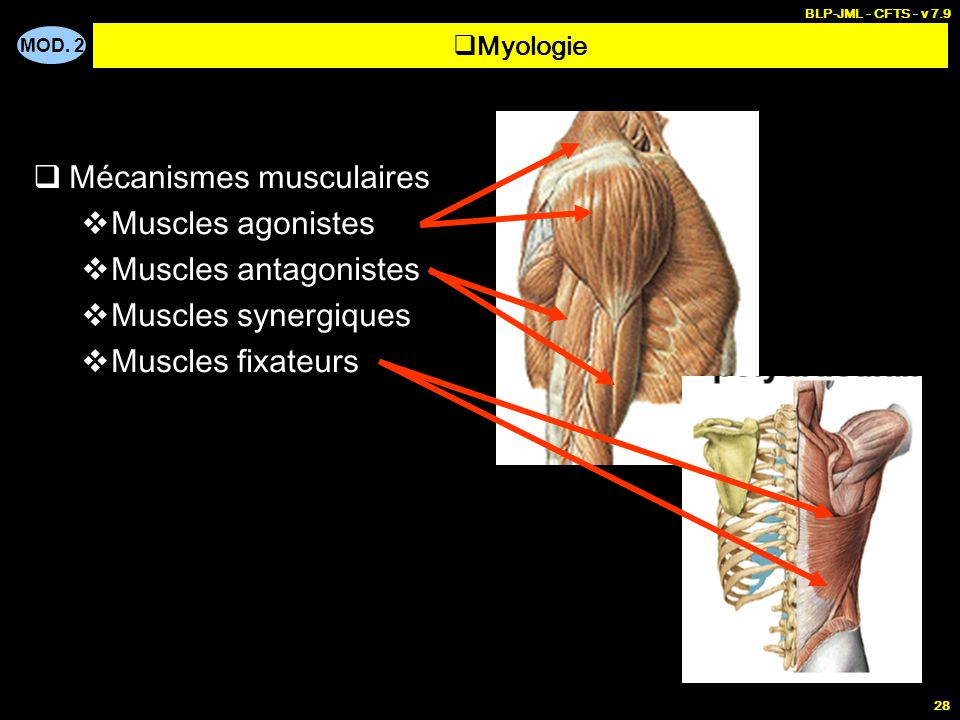 Mécanismes musculaires Muscles agonistes Muscles antagonistes