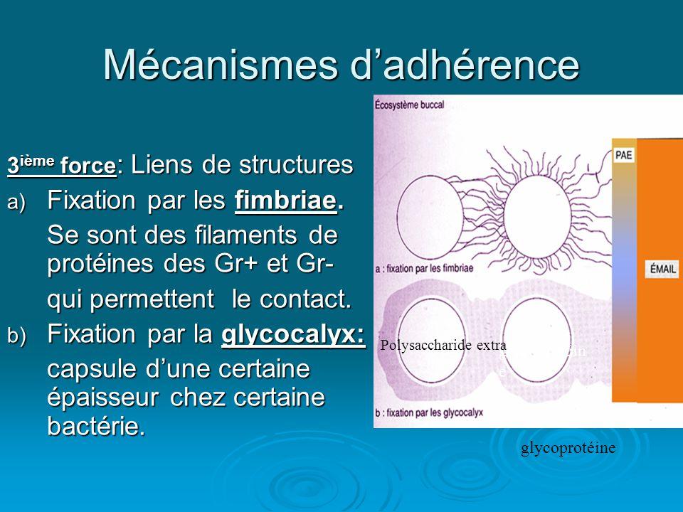 Mécanismes d'adhérence