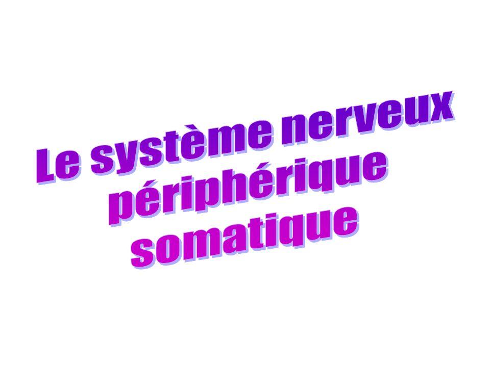 Le système nerveux périphérique somatique