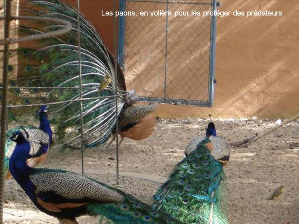 Les paons, en volière pour les protéger des prédateurs