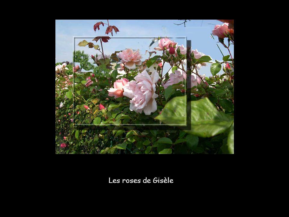 Les roses de Gisèle