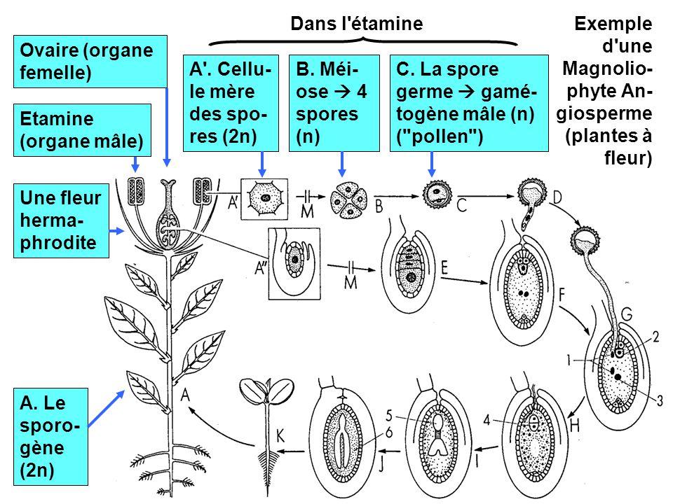 Dans l étamine Exemple d une Magnolio-phyte An-giosperme (plantes à fleur) Ovaire (organe femelle)