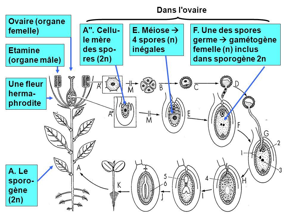 Dans l ovaire Ovaire (organe femelle) A . Cellu-le mère des spo-res (2n) E. Méiose  4 spores (n) inégales.
