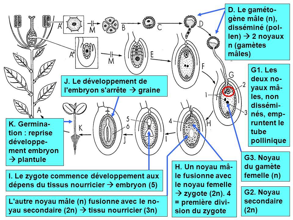 D. Le gaméto-gène mâle (n), disséminé (pol-len)  2 noyaux n (gamètes mâles)