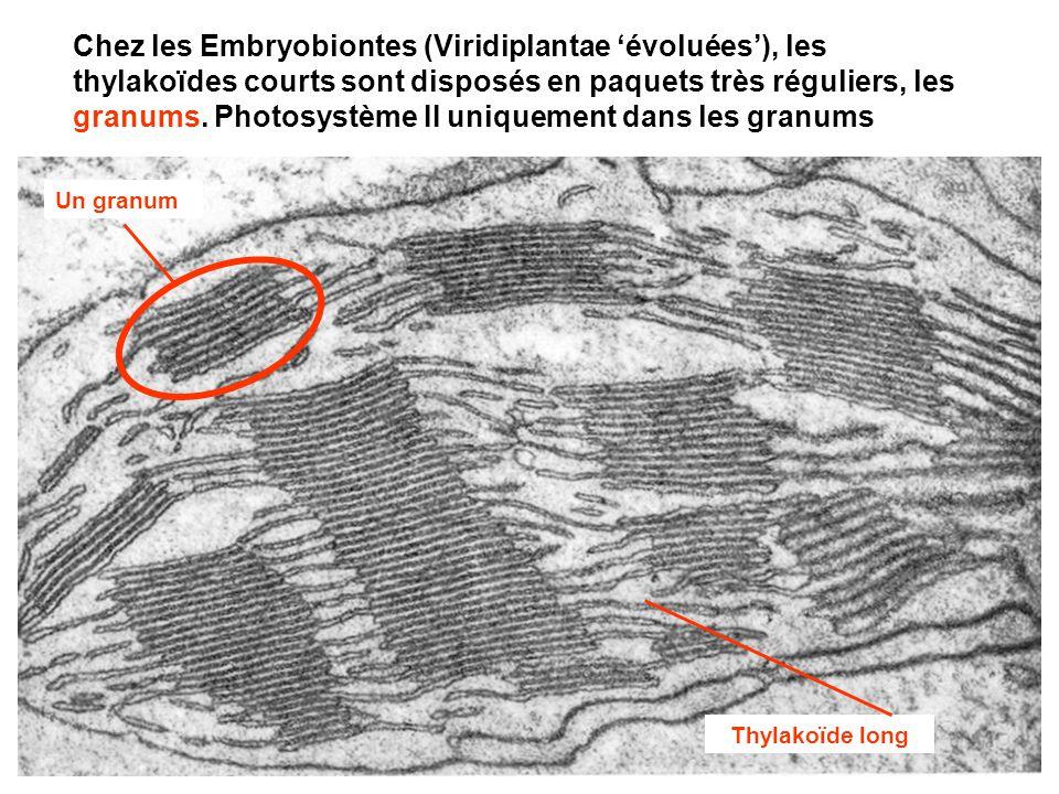 Chez les Embryobiontes (Viridiplantae 'évoluées'), les thylakoïdes courts sont disposés en paquets très réguliers, les granums. Photosystème II uniquement dans les granums