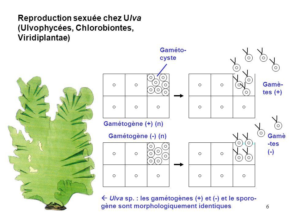 Reproduction sexuée chez Ulva (Ulvophycées, Chlorobiontes, Viridiplantae)