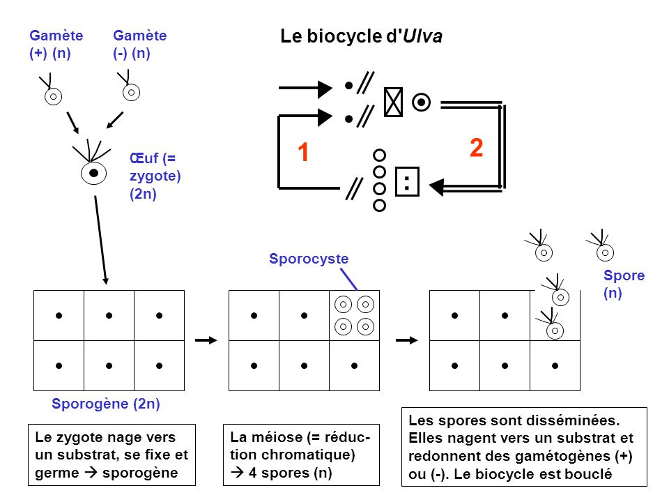 2 1 : Le biocycle d Ulva Gamète (+) (n) Gamète (-) (n)