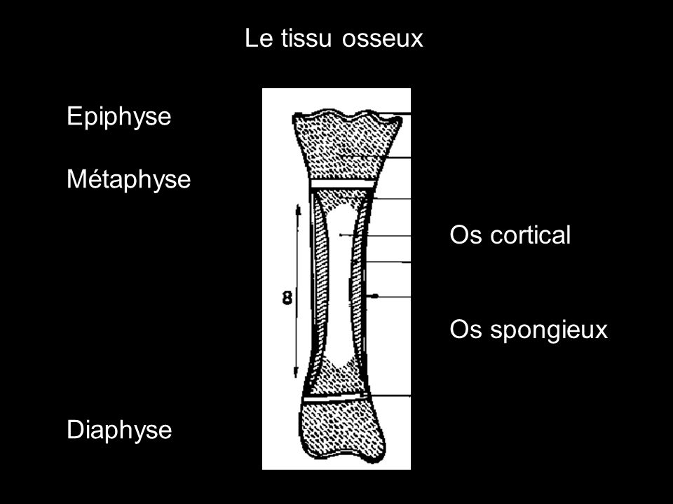 Le tissu osseux Epiphyse Métaphyse Os cortical Diaphyse Os spongieux