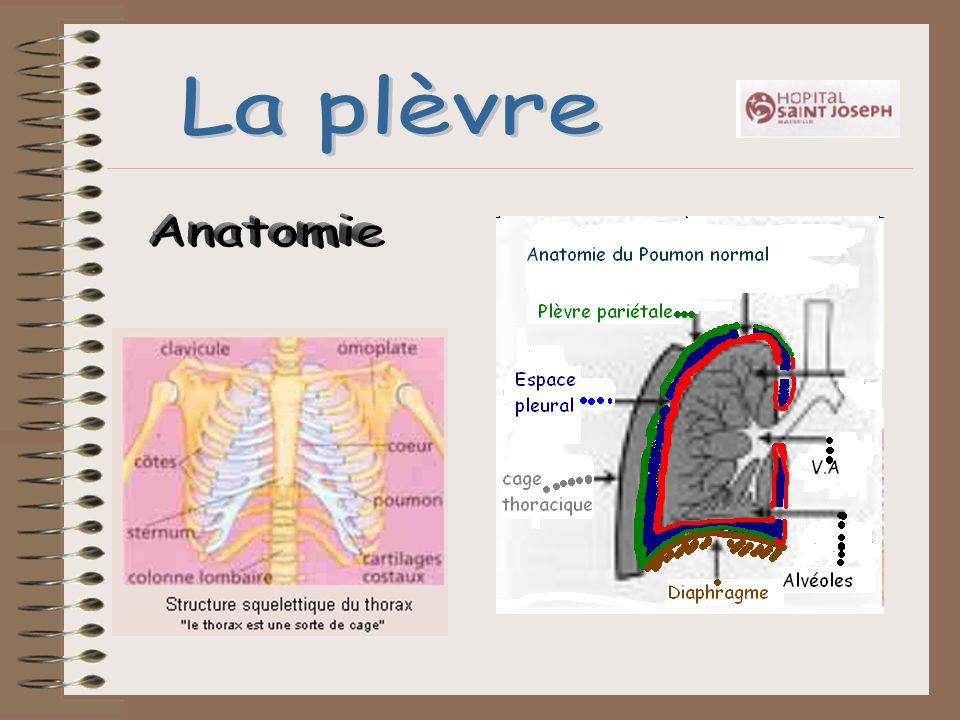 La plèvre Anatomie
