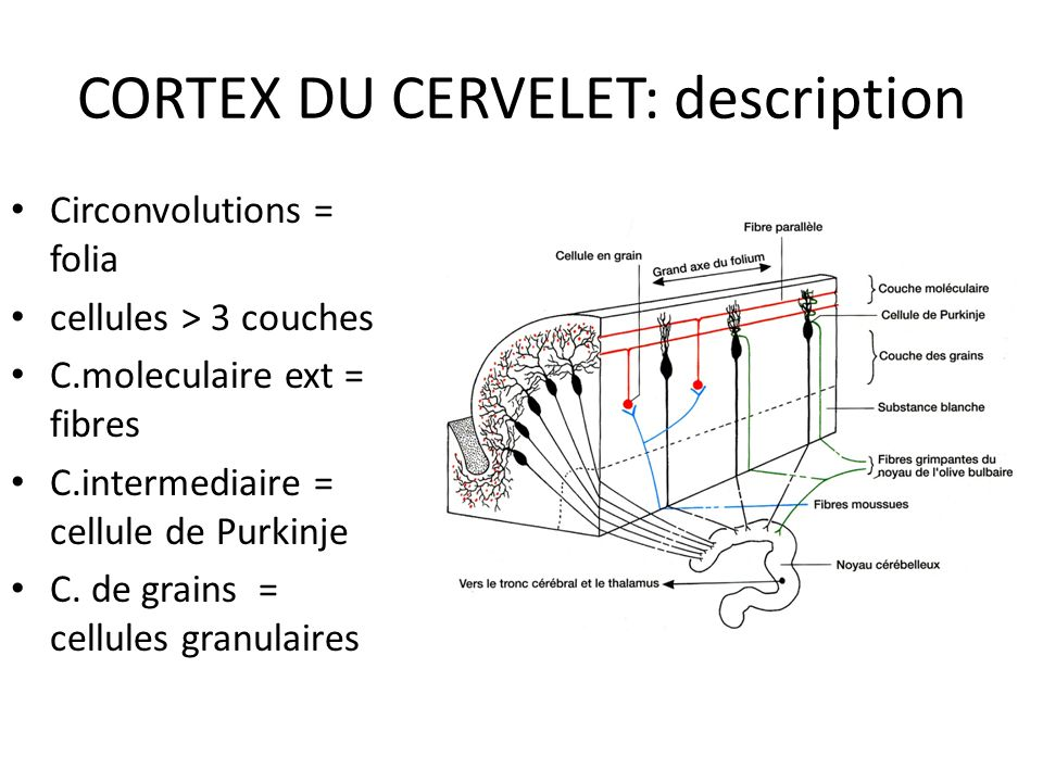 CORTEX DU CERVELET: description