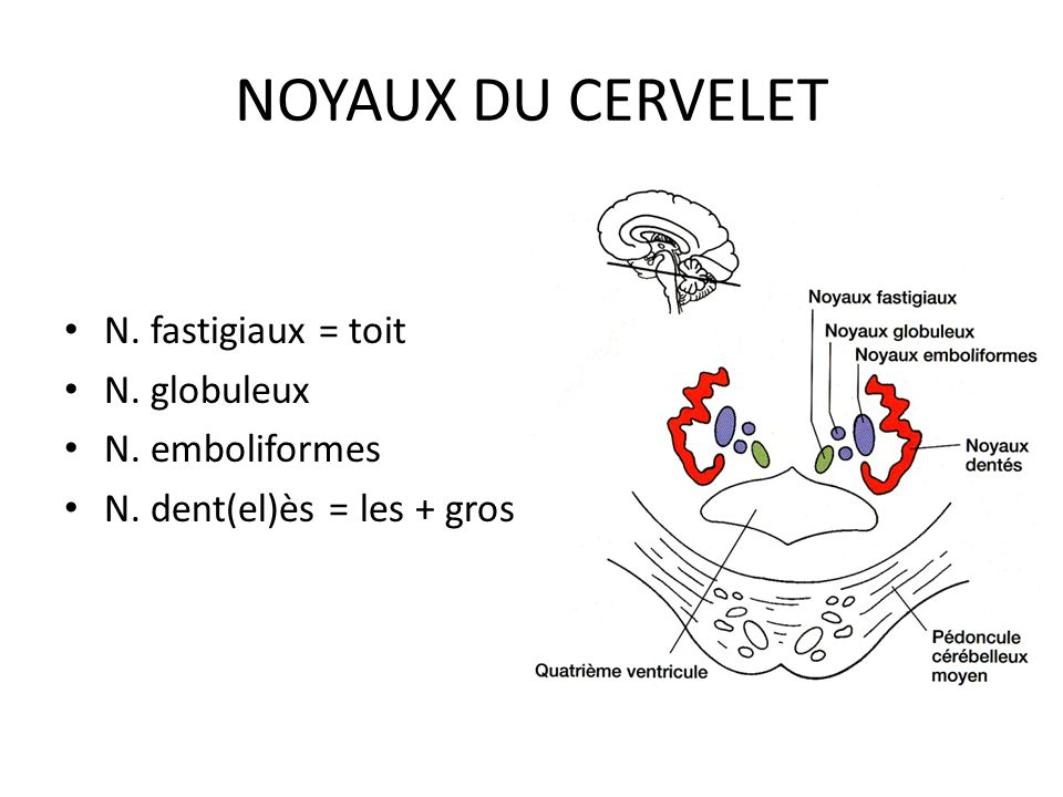 NOYAUX DU CERVELET N. fastigiaux = toit N. globuleux N. emboliformes