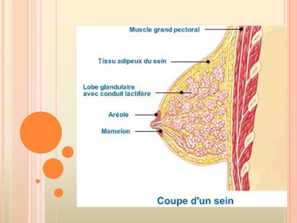 Le sein se compose de graisse (tissus adipeux sur le schéma), de glandes et de canaux (lobe glandulaire avec conduit lactifère sur le schéma).
