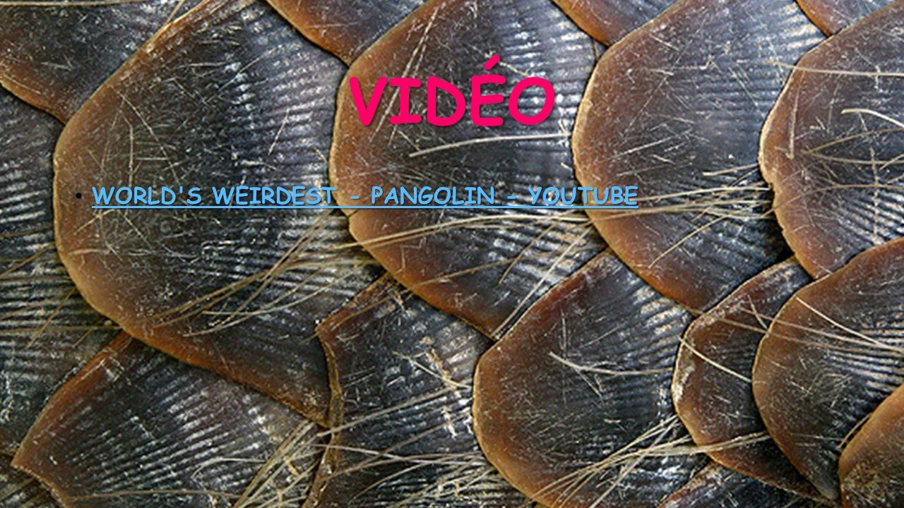 Vidéo World s Weirdest - Pangolin - YouTube