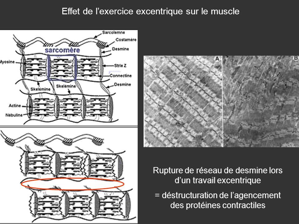 Effet de l'exercice excentrique sur le muscle