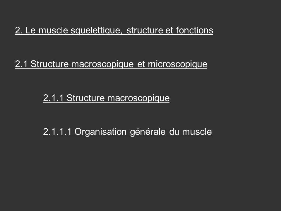 2. Le muscle squelettique, structure et fonctions 2