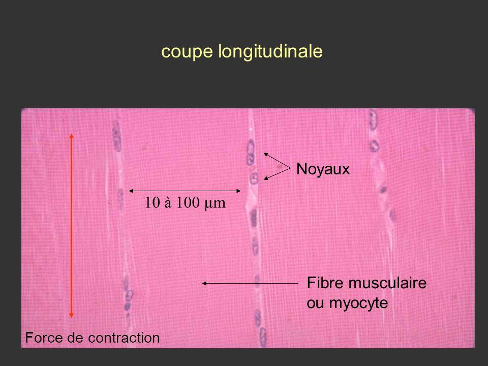 coupe longitudinale Noyaux 10 à 100 µm Fibre musculaire ou myocyte