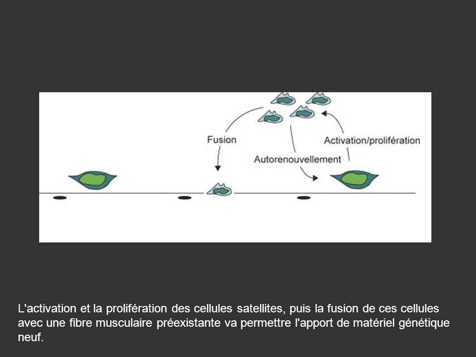 L activation et la prolifération des cellules satellites, puis la fusion de ces cellules avec une fibre musculaire préexistante va permettre l apport de matériel génétique neuf.