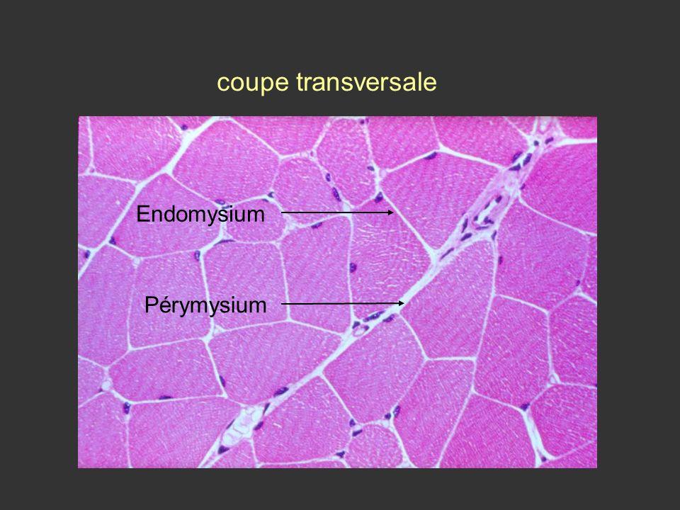 coupe transversale Endomysium Pérymysium