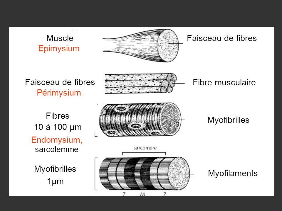 Endomysium, sarcolemme