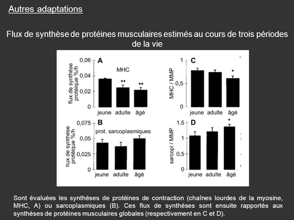 Autres adaptations Flux de synthèse de protéines musculaires estimés au cours de trois périodes de la vie.