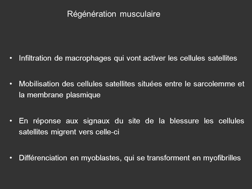 Régénération musculaire