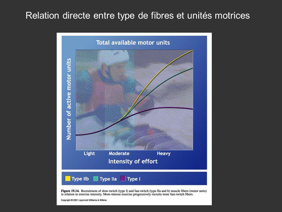 Relation directe entre type de fibres et unités motrices