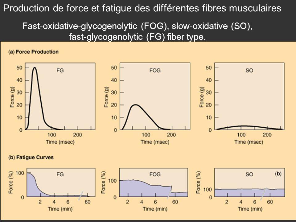 Production de force et fatigue des différentes fibres musculaires