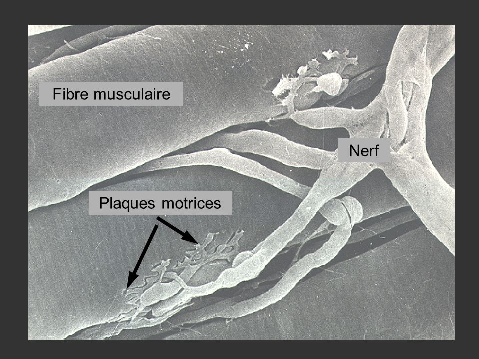 Fibre musculaire Nerf Plaques motrices